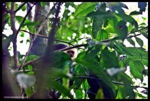 Mono cariblanca Corcovado Costa Rica