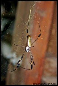 Araña Corcovado Costa Rica