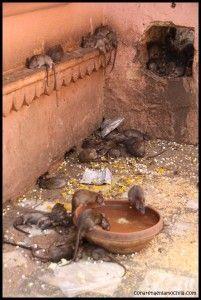 Deshnoke Templo Karni Mata India