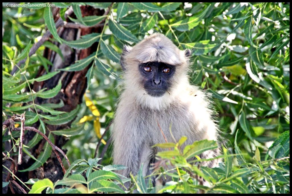 Langur Pushkar India