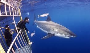 Tiburón blanco Guadalupe México