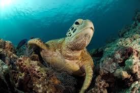 Tortuga Sipadan Malasia