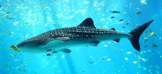 Tiburón Ballena Maldivas