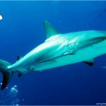 Shark Wall & Arena: Buceando con tiburones en Bahamas