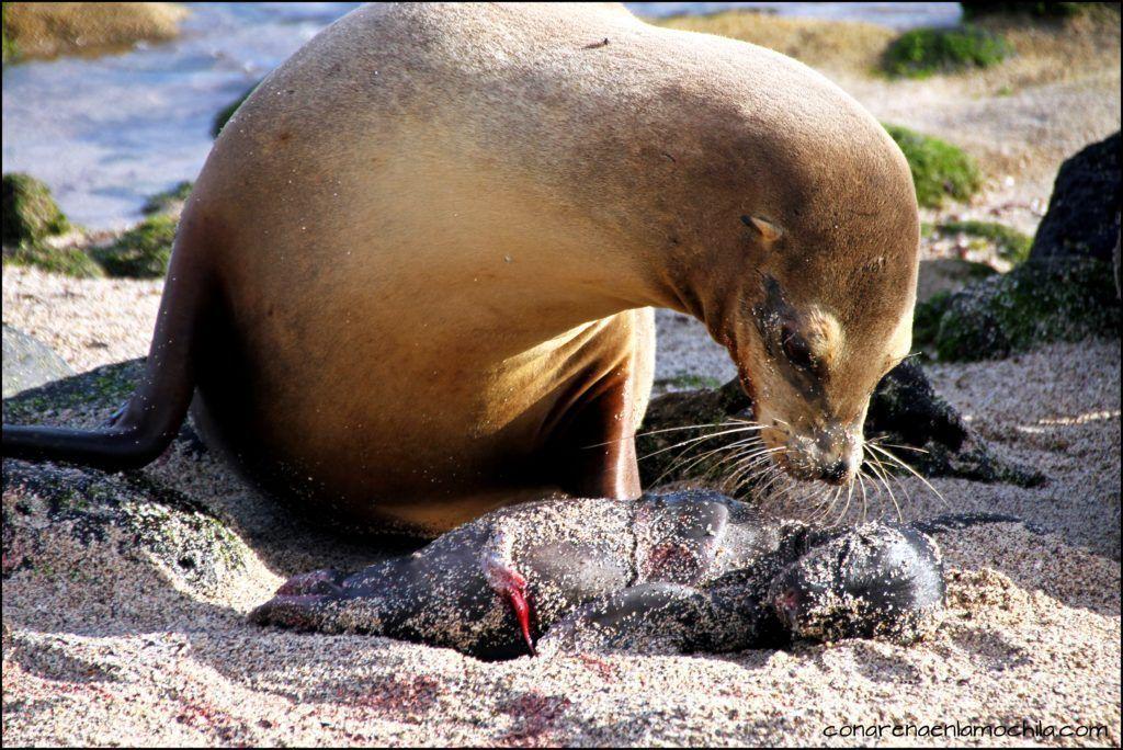 Las imágenes que aquí se pueden ver son las típicas de una playa llena de lobos marinos: crías que juguetean, madres protectoras, machos alfa patrullando la costa y protegiendo a la familia etc… En Octubre Noviembre es la época de cría de muchas especies y tuvimos la suerte incluso de asistir a un parto en directo, algo asombros y único, fue increíble.