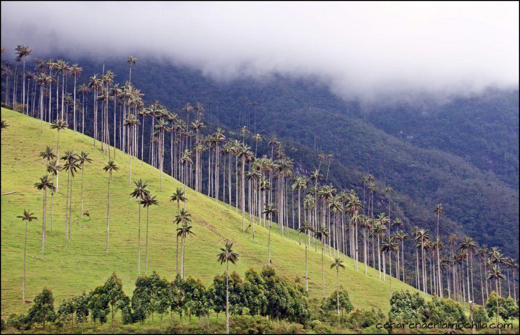 Valle del Cocora Quindío Colombia