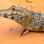 Qué ver y cómo llegar al Pantanal de Brasil
