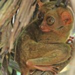 Bohol: el último reducto del tarsier de Filipinas